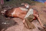 Ria Ricis kurban sapi dengan berat 1 ton