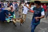 Seorang warga membawa kambing saat melakukan tradisi Hadrat pada Hari Raya Idul Adha 1442 Hijriyah di daerah Soa Bali Kota Ambon, Maluku, Selasa (20/7/2021).  (ANTARA FOTO/FB Anggoro)