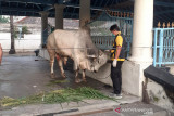Presiden Jokowi berkurban dua ekor sapi di dua masjid di Solo