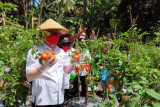 Wabup Sitaro panen perdana tomat di Kampung Salili