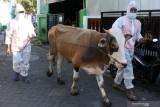Petugas mengenakan alat pelindung diri (APD) saat penyembelihan hewan kurban di Desa Kureksari, Waru, Sidoarjo, Jawa Timur, Selasa (20/7/2021).  Pemakaian APD tersebut bertujuan untuk melindungi petugas dari bahaya COVID-19 yang bisa saja terjadi saat proses pememotongan hewan. Antara Jatim/Umarul Faruq/zk