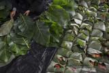 Sejumlah santriwati membungkus daging kurban menggunakan daun pohon jati di Yayasan PesantreneurshiPAY, Desa Margaluyu, Kabupaten Tasikmalaya, Jawa Barat, Rabu (21/7/2021). Pesantren tersebut memanfatkan daun jati dan tali berbahan bambu untuk mengemas daging kurban sejak tahun 2013 sebagai upaya mendukung program peduli lingkungan dan meminimalisasi penggunaan kantung plastik. ANTARA FOTO/Adeng Bustomi/agr