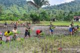Satgas TNI Yonif 403 bersama warga Papua menanam padi di perbatasan