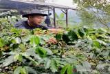 Petani kopi di Madina tinggalkan lahan imbas  COVID-19