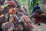 Harga minyak sawit di Jambi naik Rp459 per kilogram