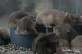 Ternak Hamster raup puluhan juta selama pandemi
