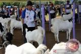 Di Solok, ada budidaya kambing perah menjadi produk bernilai jual tinggi