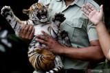 Perawat satwa menggendong bayi Harimau Sumatera (Panthera tigris sumatrae) saat pemberian nama bayi tersebut pada peringatan Hari Harimau Sedunia di Taman Safari Prigen, Pasuruan, Jawa Timur, Kamis (29/7/2021). Dua bayi Harimau Sumatera yang lahir pada 4 Mei 2021 dan berjenis kelamin betina itu diberi nama Isyana dan Aura, dan menambah koleksi Harimau Sumatera di Taman Safari Prigen menjadi empat ekor. Antara Jatim/Zabur Karuru/zk