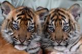 Perawat satwa menggendong dua bayi Harimau Sumatera (Panthera tigris sumatrae) saat pemberian nama bayi tersebut pada peringatan Hari Harimau Sedunia di Taman Safari Prigen, Pasuruan, Jawa Timur, Kamis (29/7/2021). Dua bayi Harimau Sumatera yang lahir pada 4 Mei 2021 dan berjenis kelamin betina itu diberi nama Isyana dan Aura, dan menambah koleksi Harimau Sumatera di Taman Safari Prigen menjadi empat ekor. Antara Jatim/Zabur Karuru/zk