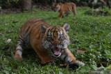 Dua bayi Harimau Sumatera (Panthera tigris sumatrae) bermain di halaman saat pemberian nama bayi tersebut pada peringatan Hari Harimau Sedunia di Taman Safari Prigen, Pasuruan, Jawa Timur, Kamis (29/7/2021). Dua bayi Harimau Sumatera yang lahir pada 4 Mei 2021 dan berjenis kelamin betina itu diberi nama Isyana dan Aura, dan menambah koleksi Harimau Sumatera di Taman Safari Prigen menjadi empat ekor. Antara Jatim/Zabur Karuru/zk