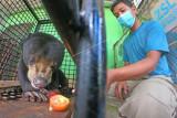 Petugas operasional memberi makan beruang madu (Helarctos malayanus) yang sedang menjalani perawatan di kandang sementara di Tempat Penyelamatan Satwa (TPS) BKSDA Jambi, Jambi, Rabu (28/7/2021). Beruang madu yang diperkirakan berumur tujuh tahun tersebut diselamatkan dan dirawat BKSDA Jambi setelah dua hari sebelumnya terlibat konflik dan dilaporkan memangsa sejumlah ternak warga di kawasan permukiman Kabupaten Bungo. ANTARA FOTO/Wahdi Septiawan/rwa.