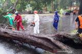Pohon tumbang di objek wisata Pariaman, tak ada korban jiwa