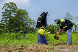 Sejumlah siswa SMKN 1 Cikampek jurusan Agribisnis Tanaman merawat tanaman sorgum di Lahan pertanian Desa Pucung, Kotabaru, Karawang, Jawa Barat, Jumat (30/7/2021).  SMKN 1 Cikampek bekerja sama dengan Koperasi Sangga Buana Lestari mengembangkan sektor pertanian melalui edukasi, pembudi dayaan dan proses produksi hingga penjualan tanaman Sorgum sebagai upaya menumbuhkan dan mengembangkan wirausaha petani muda. ANTARA FOTO/M Ibnu Chazar/agr