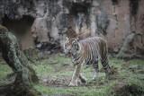 Salah satu Harimau Sumatra yang terpapar COVID-19, Tino berada di dalam kandang di Taman Margasatwa Ragunan (TMR), Jakarta, Minggu (1/8/2021). Dua Harimau Sumatra penghuni Taman Margasatwa Ragunan, Hari dan Tino yang didiagnosis positif COVID-19 pada 15 Juli lalu saat ini kondisinya sudah mulai membaik setelah mendapatkan perawatan intensif dari tim dokter. ANTARA FOTO/Dhemas Reviyanto/nym.