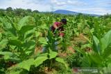 PETANI PANEN TEMBAKAU DI ACEH BESAR. Petani memetik daun tembakau saat panen di desa Lambeugak, Kecamatan Kuta Cot Glie, Kabupaten Aceh Besar, Aceh, Minggu (1/8/2021). Kelompok tani di daerah  sentra penghasil tembakau tersebut menyatakan, usaha perkebunan tembakau tetap berjalan normal di tenga pandemi COVID-19, namun harga penjualan tembakau yang menurun hingga 25 persen menjadi  Rp800.000 per karung (20 kilogram) menurut jenis dan kualitasnya akibat lesunya permintaan pasar. ANTARA FOTO/Ampelsa.