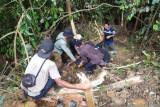Beruang madu terjerat tali nilon sudah dilepasliarkan