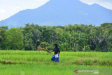 TRADISI KENDURI TURUN SAWAH SAAT PADA DARA. Wanita tani melakukan ritual peusijeuk (tepung tawar) tanaman padi seusai menggelar doa bersama saat berlangsung perayaan tradisi kenduri turun ke sawah di Desa  Lamsie, Kecamatan Cot Glie, Kabupaten Aceh Besar, Aceh, Kamis (5/8/2021). Tradisi kenduri turun ke sawah saat padi tumbuh dara atau padi mulai besar dan berperut itu bertujuan  agar tanaman padi terhindar dari hama dan mendapatkan hasil yang melimpah. ANTARA FOTO/Ampelsa.