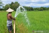 TANAMAN PADI TERANCAM GAGAL PANEN AKIBAT KEMARAU. Petani menggunakan mendistribusikan air dari sungai ke tanaman padi yang mulai berperutdi Desa  Lamsie, Kecamatan Cot Glie, Kabupaten Aceh Besar, Aceh, Kamis (5/8/2021). Petani menyatakan puluhan hektare tanaman padi yang sudah berumur sekitar dua bulan mulai mengalami kekering  akibat kemarau dan untuk menyelamatkan dari ancaman gagal panen mereka terpaksa mendistribusikan air dari sungai menggunakan pom air.ANTARA FOTO/Ampelsa.
