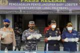 Lanal Palembang gagalkan penyelundupan 55.032 benih lobster senilai Rp8 miliar