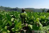 18.519 hektare tanaman tembakau di Temanggung siap  panen