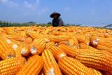 Dinas Pertanian OKU salurkan bantuan 375 kilogram bibit jagung
