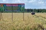 Panen hilirisasi inovasi teknologi padi rawa dukung food estate di Kalteng
