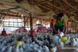 Lapas Atambua pasok ribuan ayam budiaya warga binaan ke pasar