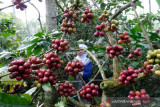Cuaca mendukung, produktivitas tanaman kopi robusta di Temanggung meningkat