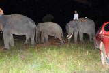 Dipandu gajah latih, Kaesang dan Dodo dievakuasi ke Tesso Nilo