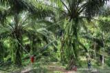 Aceh Terima Dana Peremajaan Sawit Rakyat