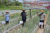 Kelomtan Tani Rukun panen benih bawang merah varietas Lokananta