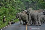 BKSDA Sumsel translokasi gajah liar ke hutan kawasan Suaka Margasatwa Gunung Raya