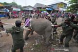 Evakuasi Anak Gajah Sumatera Di Jambi