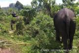 Tim gabungan lajutkan upaya translokasi dua gajah liar di OKU Selatan