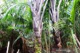 Kadin Papua dorong pengembangan industri sagu untuk ekspor