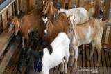 Tujuh kelompok tani di Kolaka Timur dapat bantuan kambing dan ayam