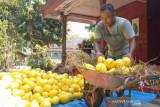 Petani melon di Madiun raup omzet puluhan juta rupiah