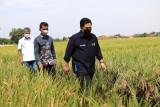 Erick Thohir - BRI dukung produksi padi model klaster  di Cirebon