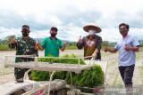 Pemerintah Kota Kendari kembangkan padi organik 450 hektare