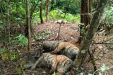 Matinya harimau kepiluan nan  tak kunjung usai