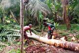 Aparat TNI bantu warga Karmon Biak mengolah tanaman sagu