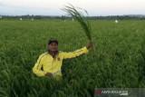 Beras petani belum terserap oleh Bulog NTT