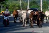 Ternak Berkeliaran di Jalan