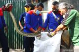 EVAKUASI ULAR DI WARUNG KOPI. Anggota tim Animal Rescue dari Dinas Pemadam Kebakaran (Disdamkar) mengevakuasi ular sanca kembang (Malayopython reticulatus) sepanjang tiga meter yang ditemukan di sebuah warung kopi di jalan Gajahmada, Malang, Jawa Timur, Jumat (3/9/2021). Dalam tiga hari terakhir tim Animal Rescue Disdamkar setempat telah menerima laporan dan mengevakuasi empat ekor ular dari rumah warga. Antara Jatim/Ari Bowo Sucipto/zk