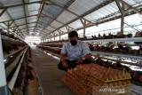Harga pakan naik, peternak ayam di Boyolali terancam gulung tikar