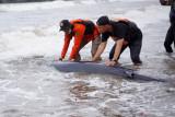 Seekor bayi paus ditemukan terdampar di Pantai Sine
