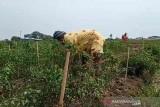 Harga anjlok hingga Rp3.000/kg, petani cabai di Indramayu merugi