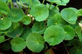 Khasiat tanaman pegagan untuk kesehatan
