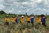Binaan Pertamina, Kawasan rawan Karhutla jadi lahan pertanian nanas