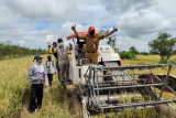 BPTP Kalsel sukses kembangkan padi varietas unggul di lahan pasang surut